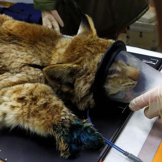 Фото: siberiantiger_center | Озвучена информация о состоянии рыси, попавшей в капкан в Приморье