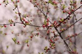 Фото:  | Во Владивостоке вовсю цветет сакура