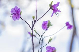 Фото: Анна Шеринберг | Цветут и пахнут: в Приморье открыт сезон сакуры