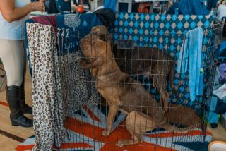 Фото: Артем Халупный | Интернациональная выставка собак прошла во Владивостоке
